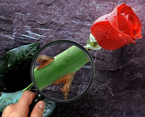 rose-prawn-thorn.jpg (500×405)