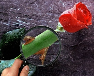 rose-thorn